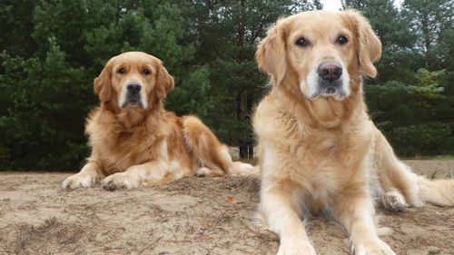 Golden Twenties Retrievers